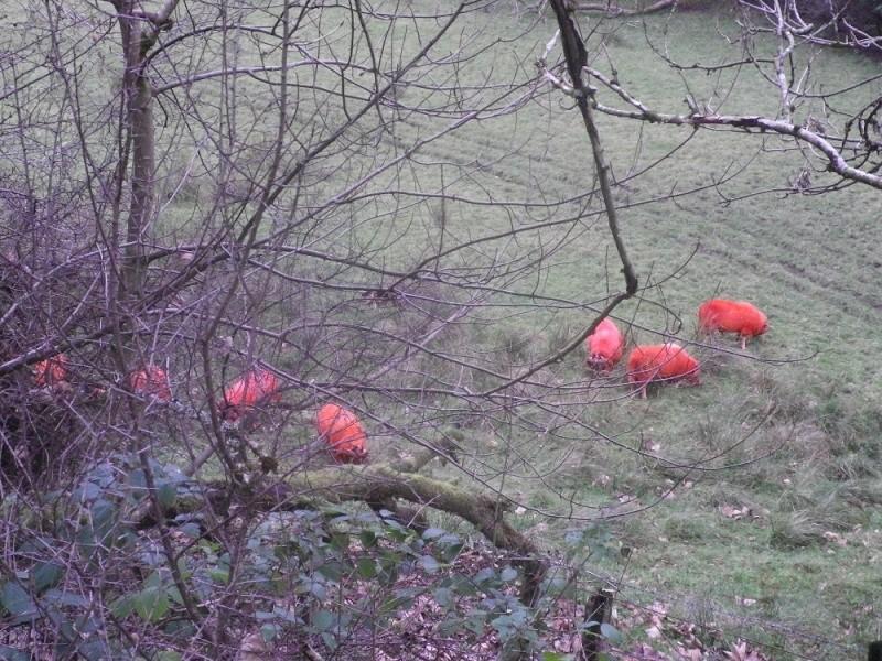 Baa Baa Orange sheep... Sheep310