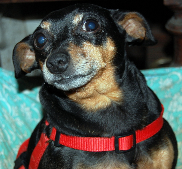 Adoption Max pinscher de 9 ans (60) Bspeo10