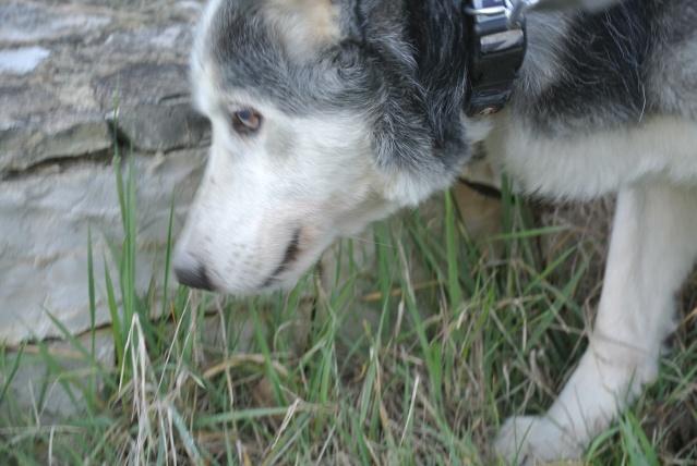 BLUE EYES  8ans, Husky sauvé de Roumanie ASSO65 - Page 2 Dsc_1110