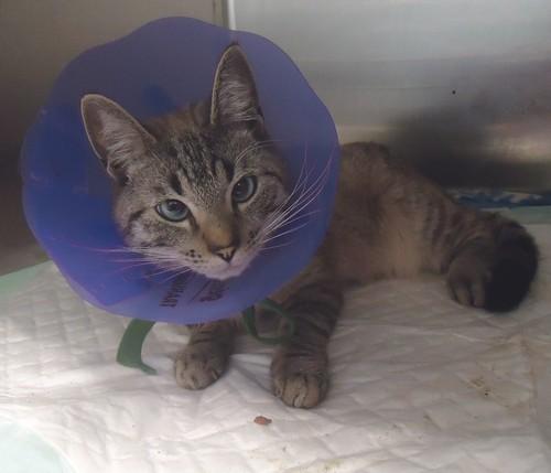 Chamallow, chat mâle accidenté Chat-c10