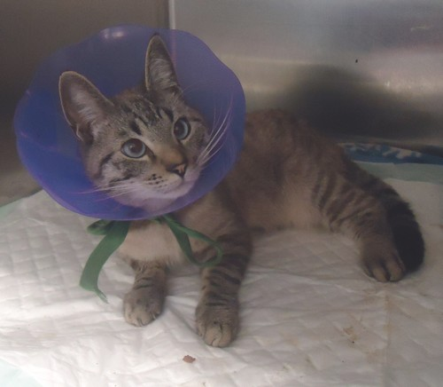 Chamallow, chat mâle accidenté Chat-c11