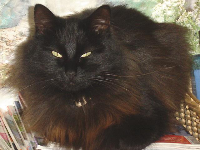 EXQUISE, chatte européenne noire à poils longs, née le 01/12/2009 Dsc00811