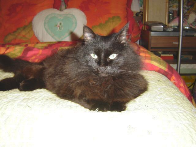 EXQUISE, chatte européenne noire à poils longs, née le 01/12/2009 Dsc01013