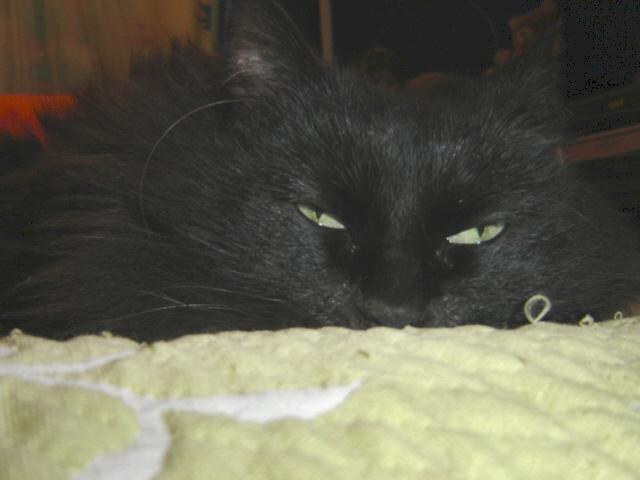 EXQUISE, chatte européenne noire à poils longs, née le 01/12/2009 Dsc01015