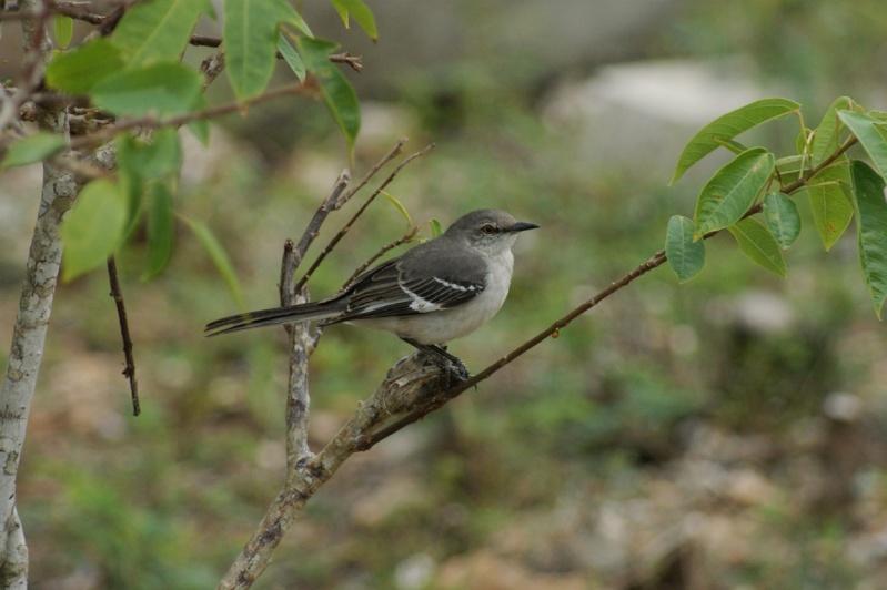 Oiseaux de...Cuba -1 Cuba_210