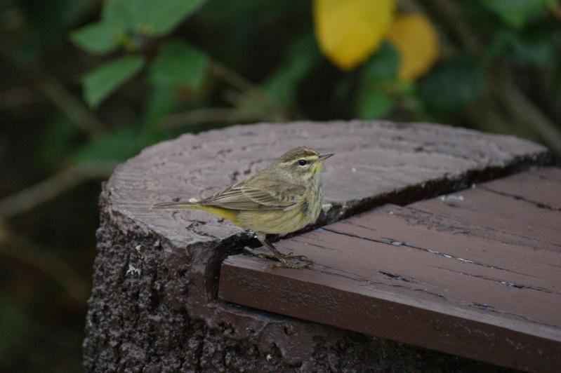 Oiseaux de...Cuba -1 Cuba_211