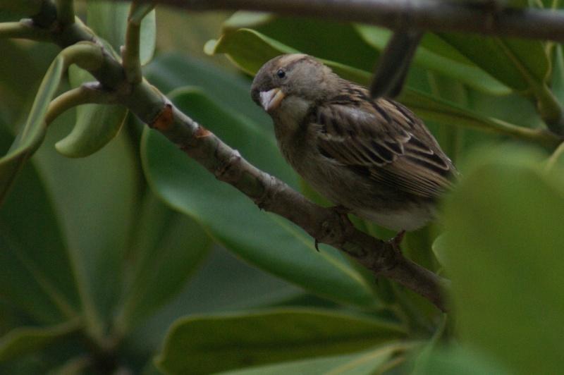 Oiseaux de...Cuba -1 Cuba_212