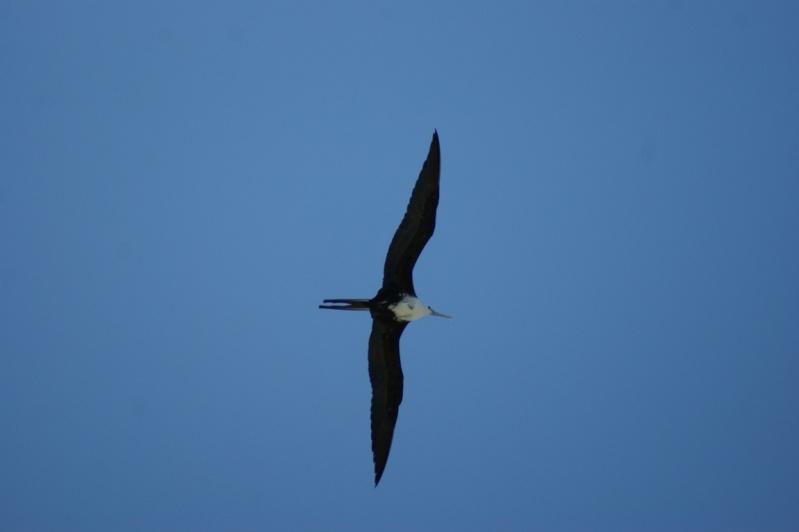 Oiseaux de...Cuba -1 Cuba_213