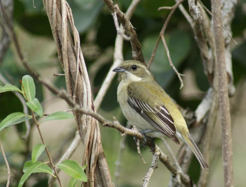 Oiseaux de ...Cuba -2 Cuba_215