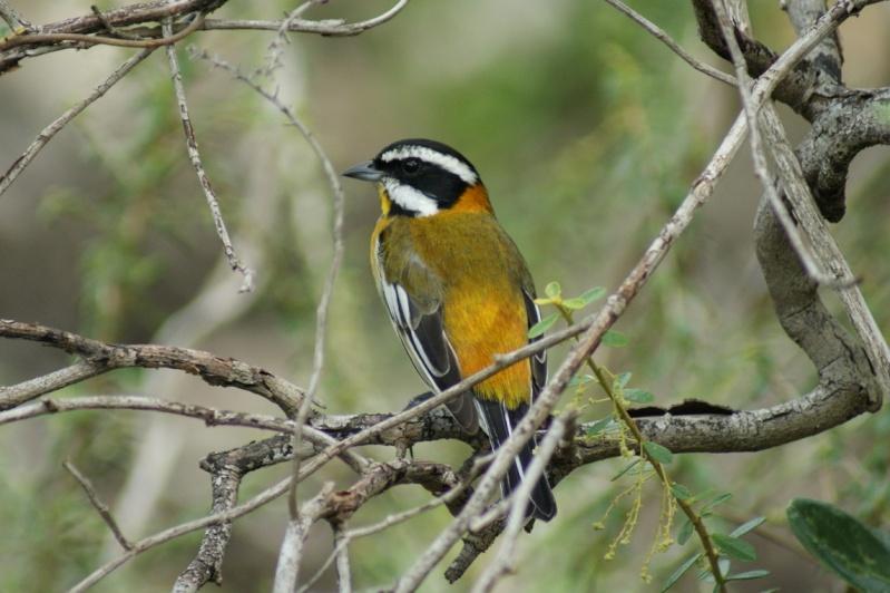 Oiseaux de ...Cuba -2 Cuba_216