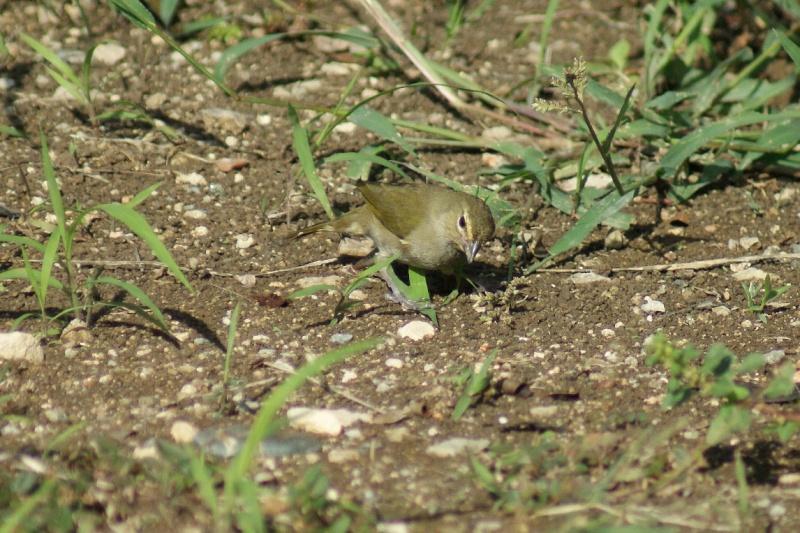 Oiseaux de ...Cuba -2 Cuba_217