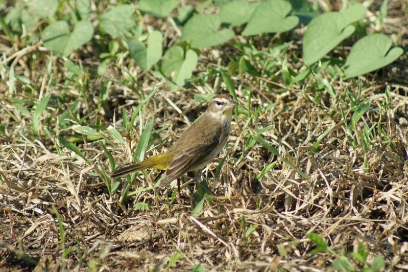 Oiseaux de ...Cuba -2 Cuba_220