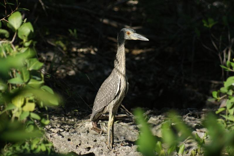 Oiseaux de ...Cuba -3 Cuba_221