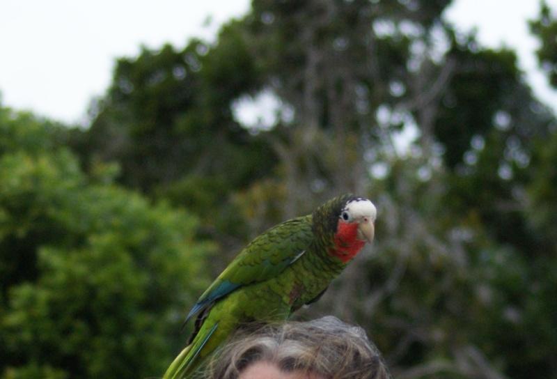 Oiseaux de ...Cuba -3 Cuba_223