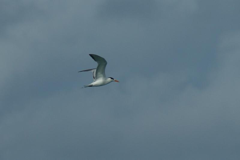 Oiseaux de ...Cuba -3 Cuba_224