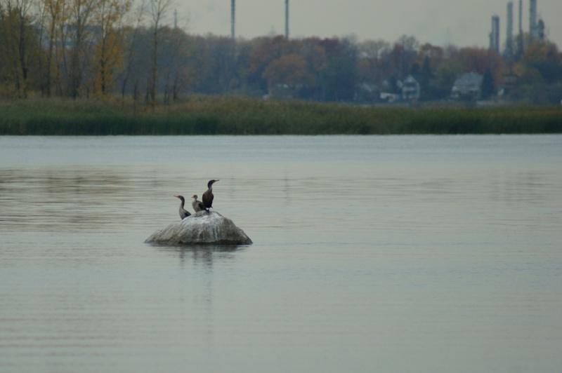 Cormoran à aigrettes sur le Fleuve Saint-Laurent Parc_d18