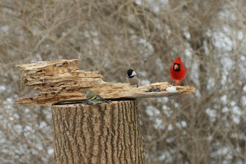 Cardinal, mésange et.. Parc_d62
