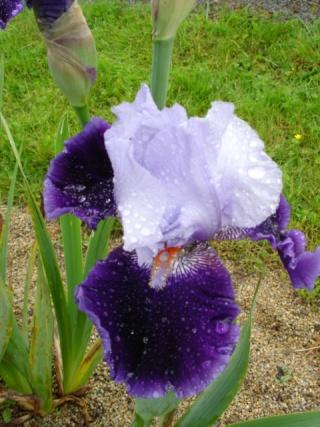 Conservatoire de l'Iris ; mai 12 Belle_10