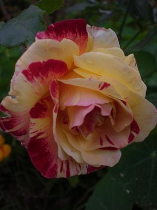 rosier 'Camille Pissaro' Photo186