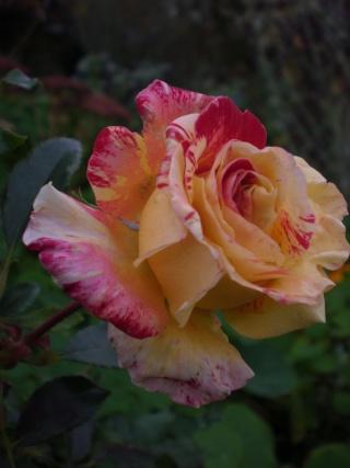 rosier 'Camille Pissaro' Photo187
