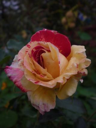 rosier 'Camille Pissaro' Photo188
