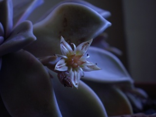 Graptopetalum paraguayense Photo374