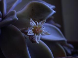 Graptopetalum paraguayense Photo374