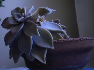 Graptopetalum paraguayense Photo375