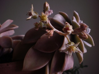 Graptopetalum paraguayense Photo535