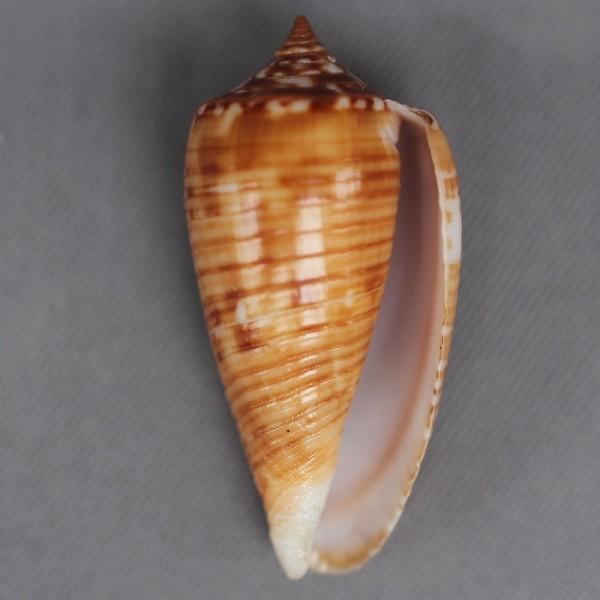 Conus (Phasmoconus) solomonensis   Delsaerdt, 1992 4446-111