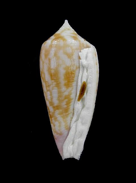 Conus (Phasmoconus) oishii - Shikama, 1977 Oishii11