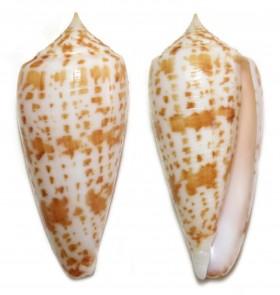 Conus (Phasmoconus) lynceus  GB. Sowerby II, 1858 - Page 2 Ts113810