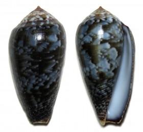Conus (Pionoconus) monachus  (Linnaeus, 1758)  Ts114210