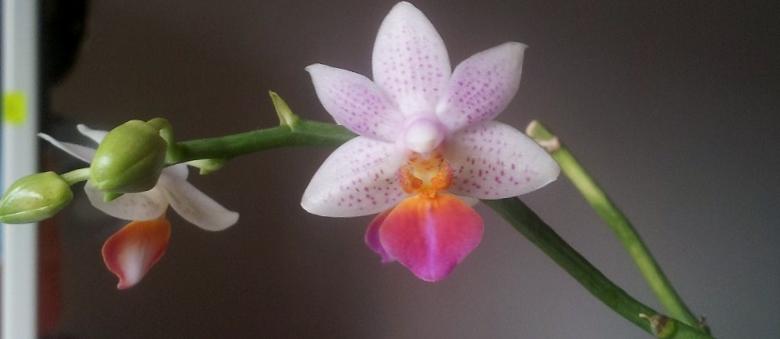 Phalaenopsis Fantasy Musick! 20140122