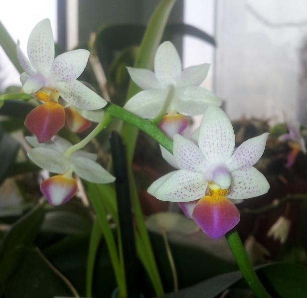 Phalaenopsis Fantasy Musick! 20140124
