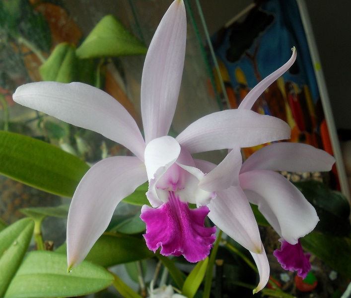 Cattleya intermedia - Seite 3 Cattle11