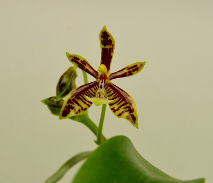 Phalaenopsis mannii Dsc_0311