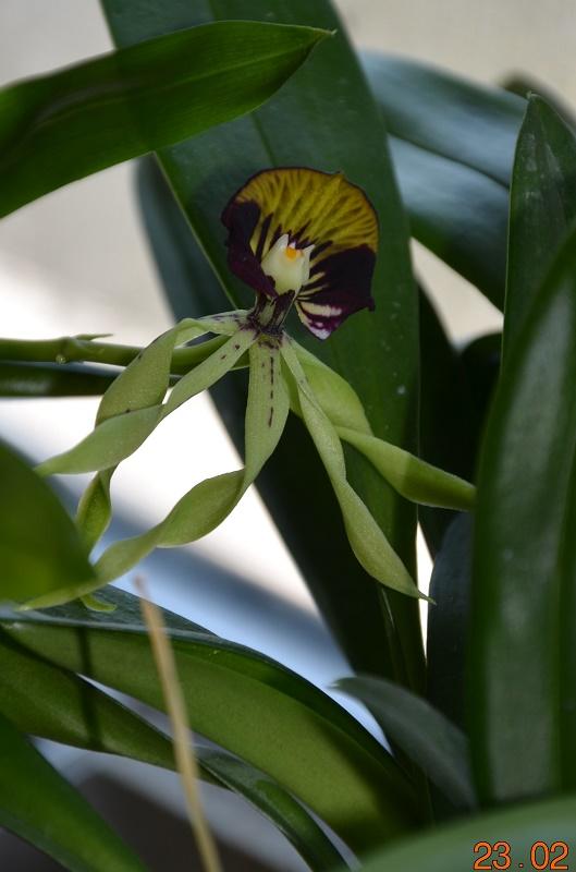 Encyclia cochleata Dsc_0415