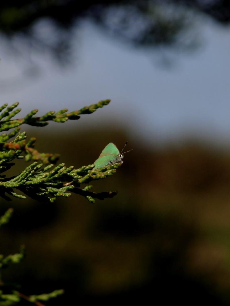 Thécla de la ronce, ce beau vert ! 00611