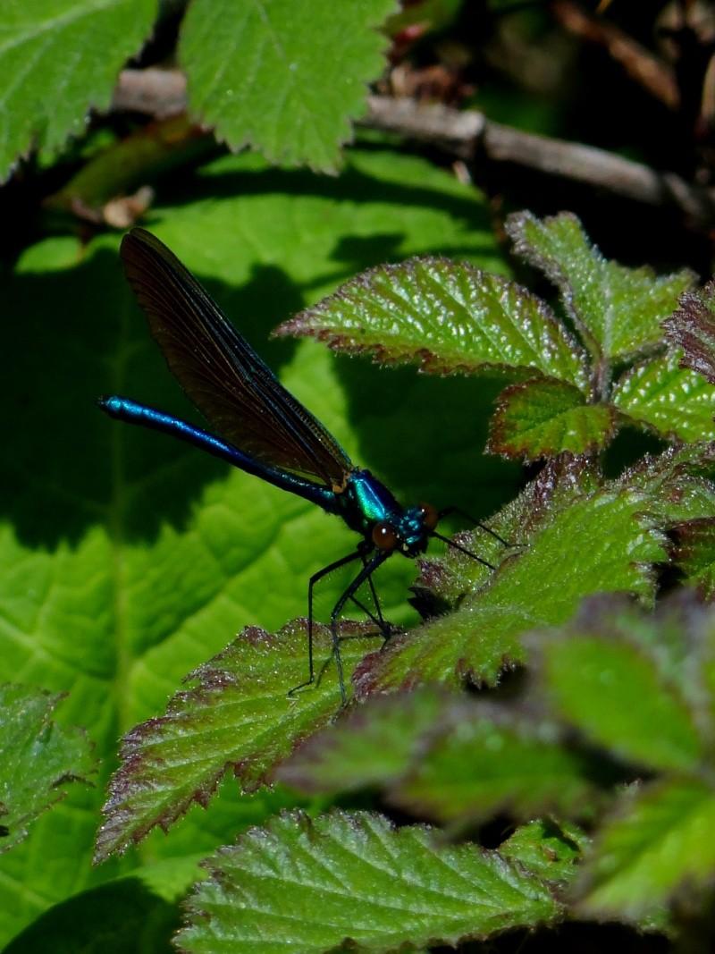 Calopteryx virgo 01612