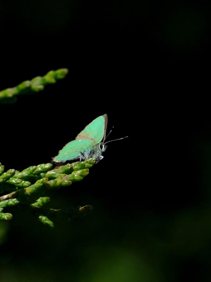 Thécla de la ronce, ce beau vert ! 01811