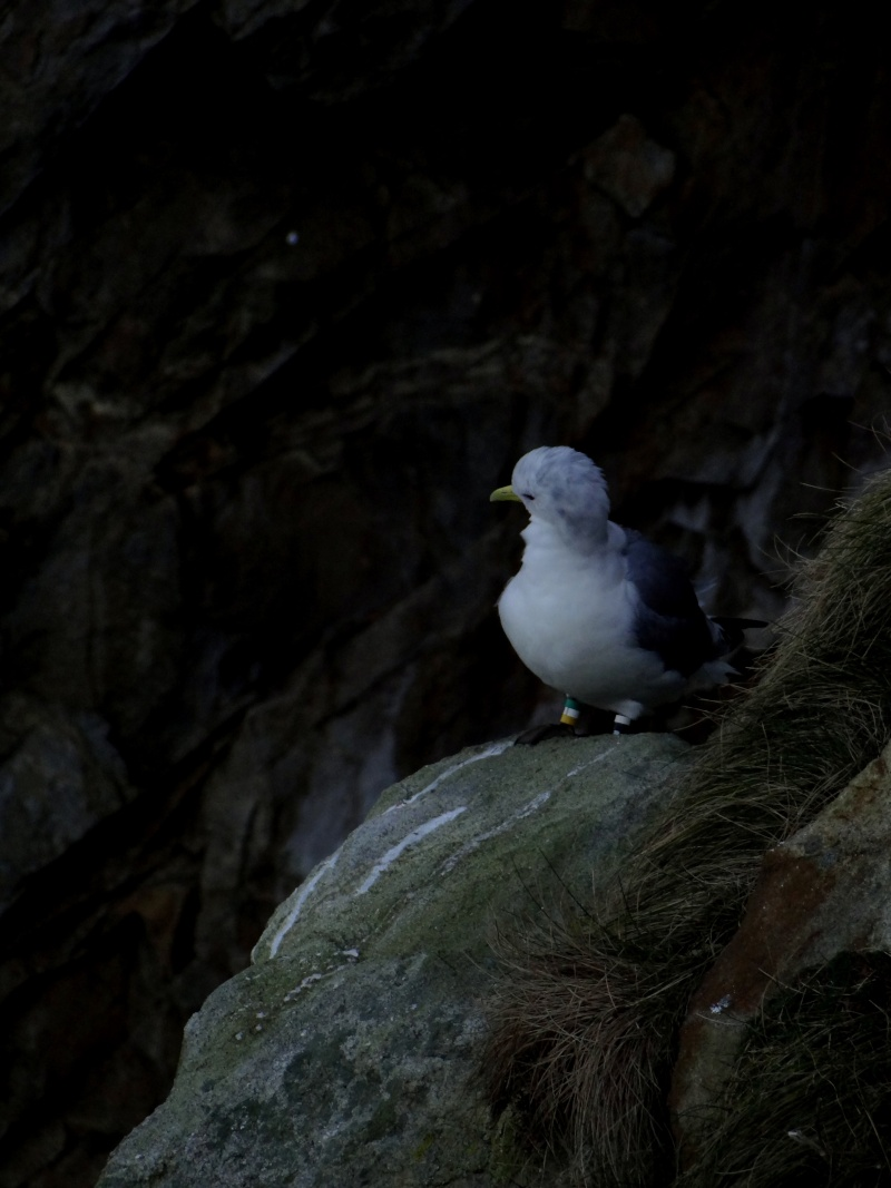 Mouette tridactyle (Rissa tridactyla) 01912