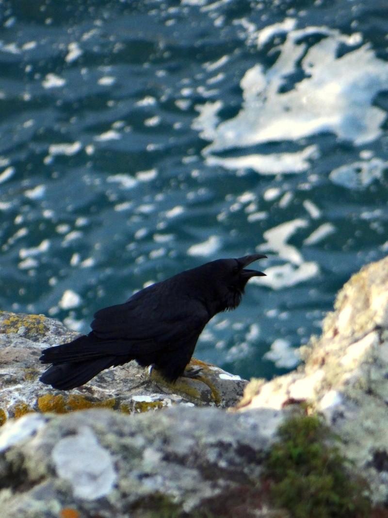 Grand Corbeau (Corvus corax) 03710