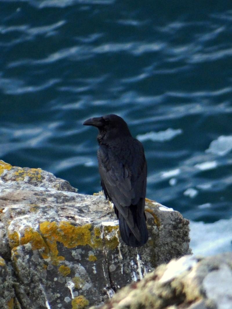 Grand Corbeau (Corvus corax) 04813