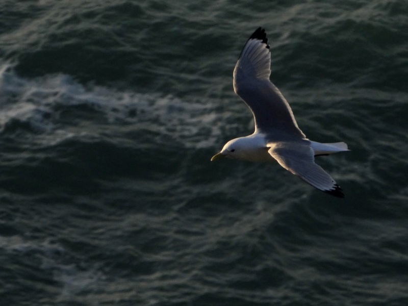 Mouette tridactyle (Rissa tridactyla) 04911