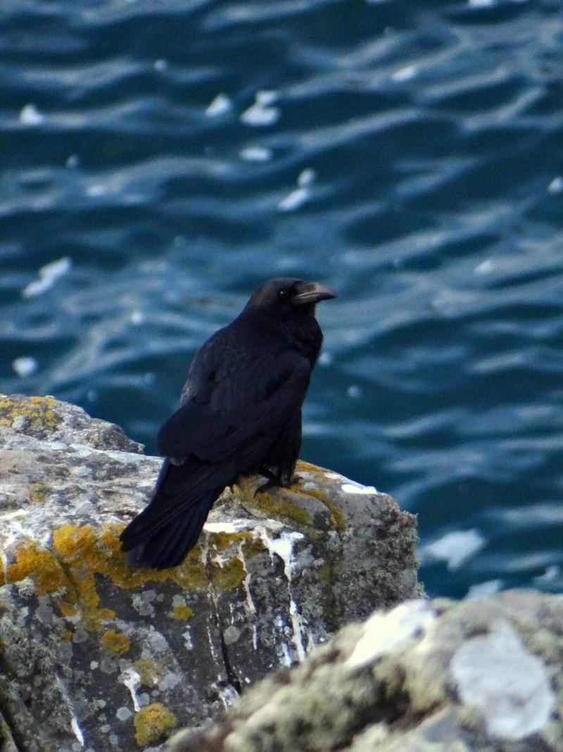 Grand Corbeau (Corvus corax) 05112