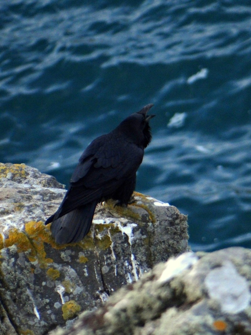 Grand Corbeau (Corvus corax) 06011