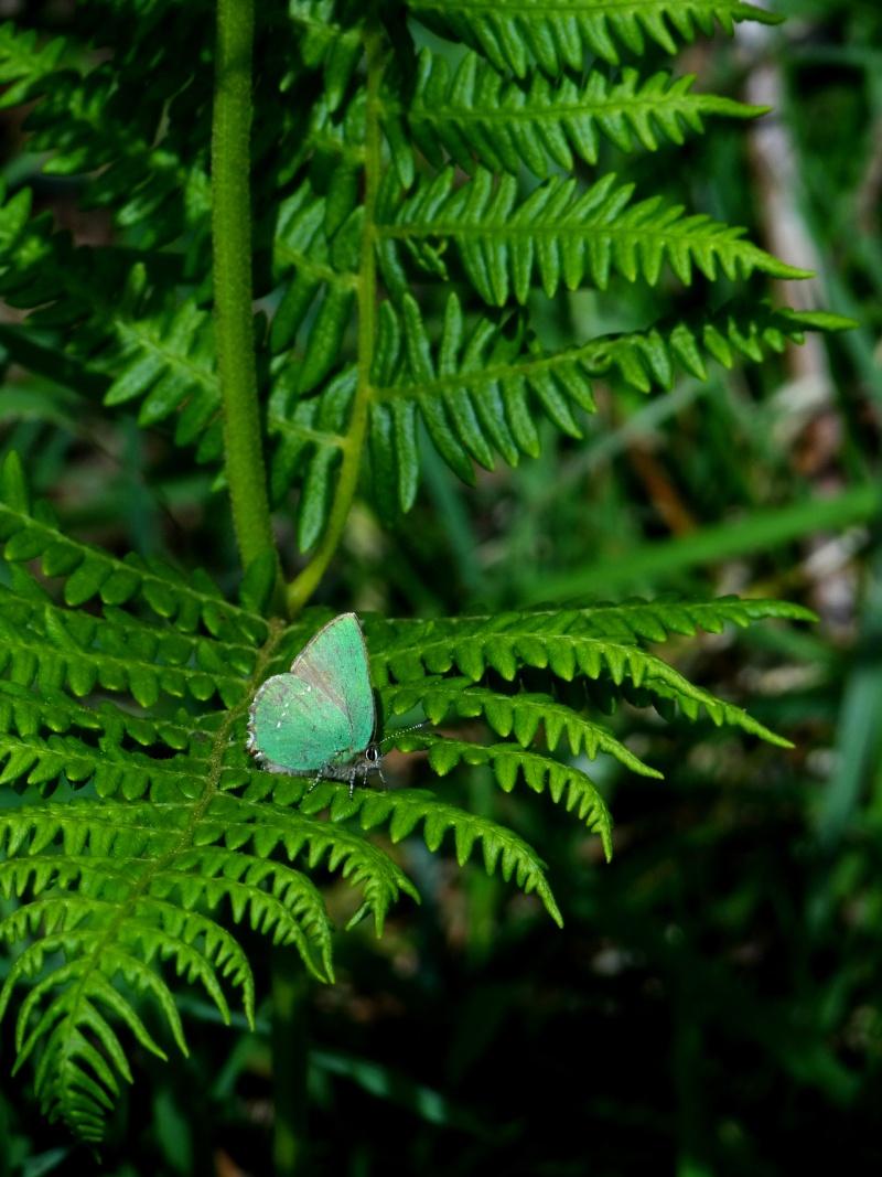 Premières observations de papillons en 2014 - Page 2 08010