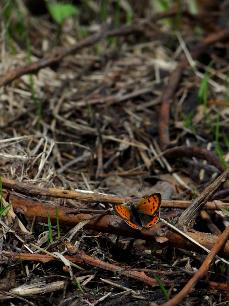 Premières observations de papillons en 2014 - Page 2 08510