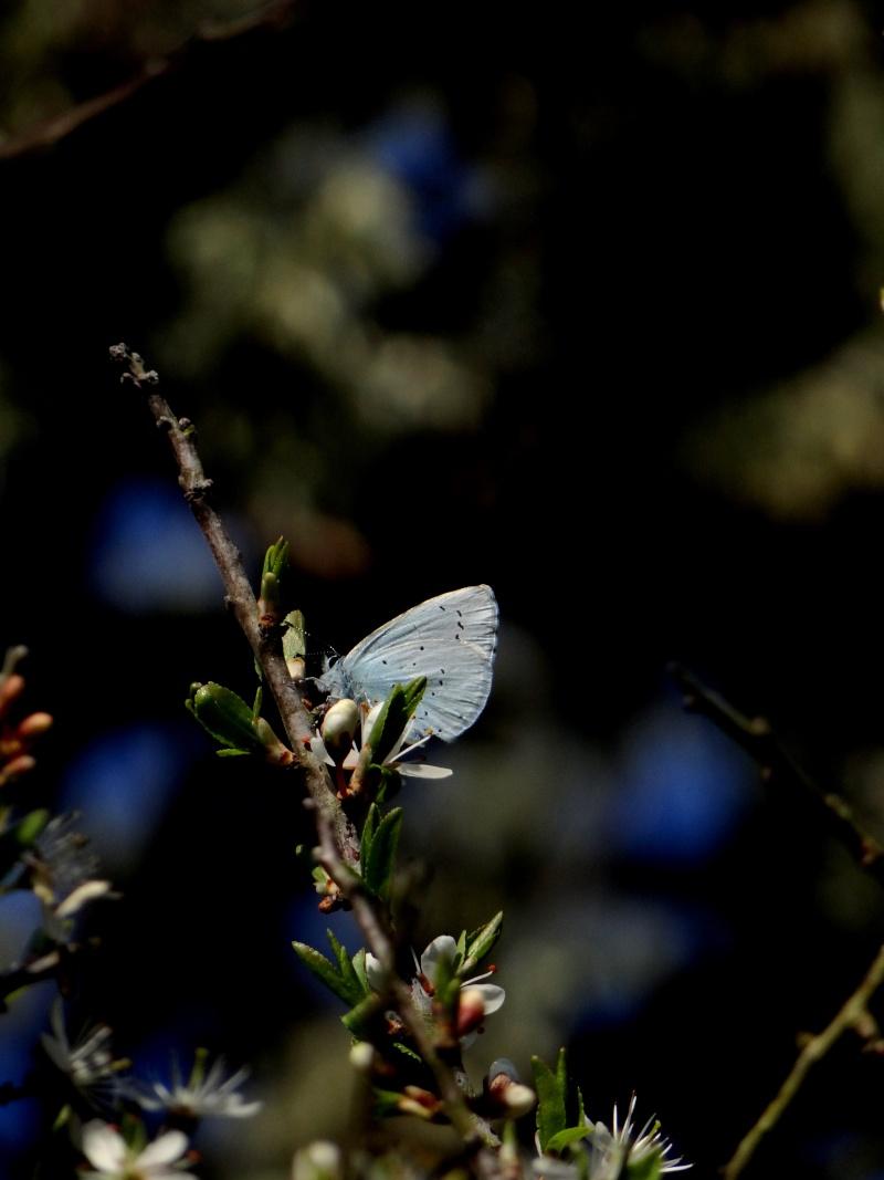 Premières observations de papillons en 2014 - Page 2 09011